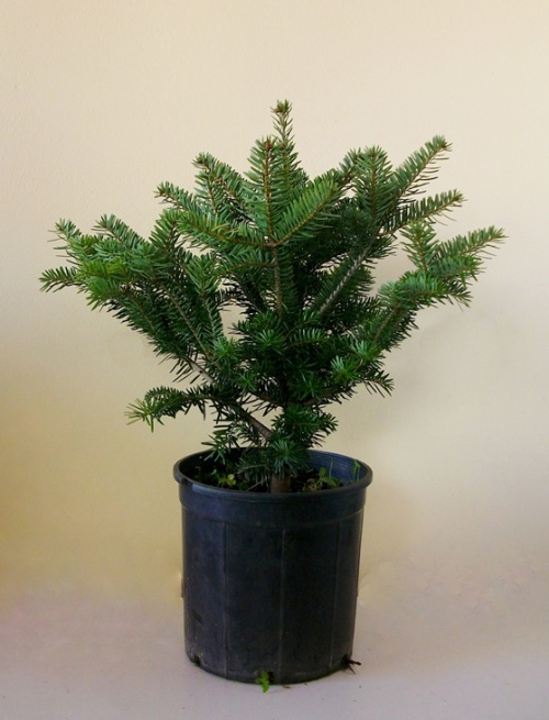 Έλατο-Abies Normanniana